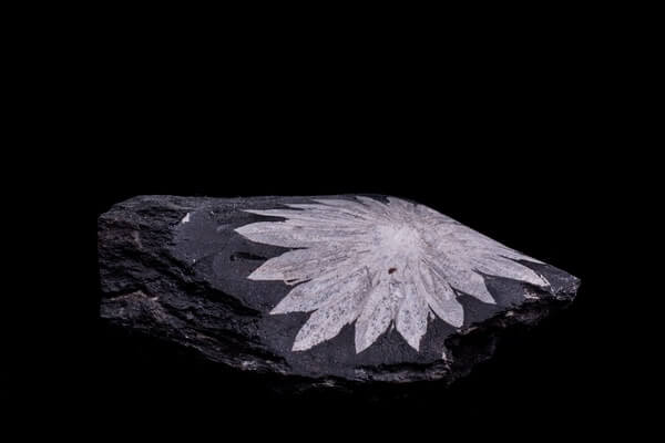 A large Chrysanthemum Stone on a black table